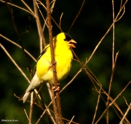 American goldfinch I77A0382©Maria de Bruyn res