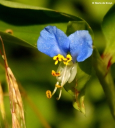 Asiatic dayflower Commelina communis I77A0667© Maria de Bruyn res