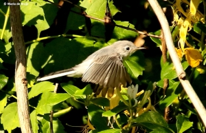 blue-gray gnatcatcher I77A0302©Maria de Bruyn res