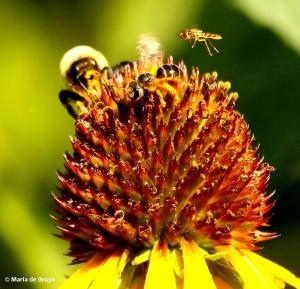 Bumble bee I77A6297© Maria de Bruyn res