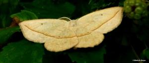 Confused Eusarca moth Eusarca confusaria I77A5701© Maria de Bruyn