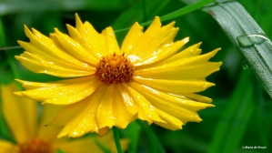 coreopsis flower IMG_0486© Maria de Bruyn res