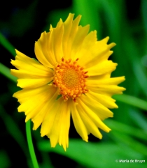 coreopsis flower IMG_0494© Maria de Bruyn res