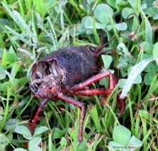 crayfish IMG_4926©Maria de Bruyn res