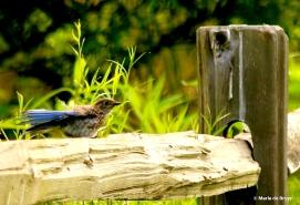 Eastern bluebird I77A5558© Maria de Bruyn res