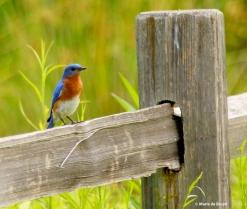 Eastern bluebird I77A6022© Maria de Bruyn res