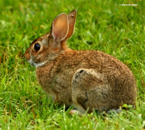 Eastern cottontail rabbitI77A5578© Maria de Bruyn res