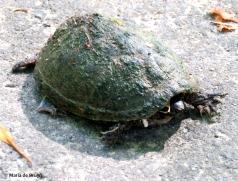 Eastern mud turtle IMG_0741© Maria de Bruyn res