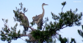 great blue heron IMG_0402© Maria de Bruyn res