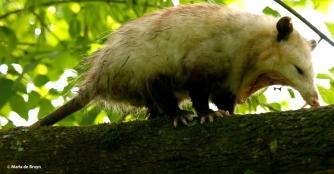 opossum I77A5897© Maria de Bruyn res