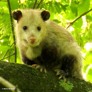 opossum IMG_0605© Maria de Bruyn res
