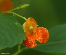 orange jewelweed I77A0511© Maria de Bruyn res