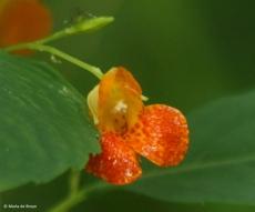 orange jewelweed I77A0511© Maria de Bruyn res