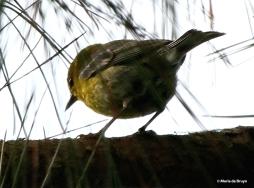 Pine warbler I77A5598© Maria de Bruyn