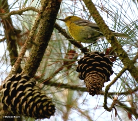 Pine warbler I77A5605© Maria de Bruyn res