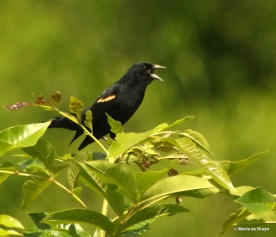 red-winged blackbird I77A6090© Maria de Bruyn res