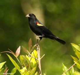 red-winged blackbird I77A6126© Maria de Bruyn res