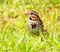 song sparrow I77A6195© Maria de Bruyn