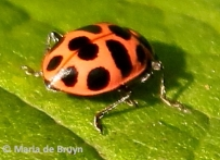 Spotted pink lady beetle I77A0081©Maria de Bruyn bg