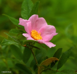 swamp rose Rosa palustris I77A5621© Maria de Bruyn res