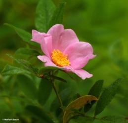 swamp rose Rosa palustris I77A5621© Maria de Bruyn res
