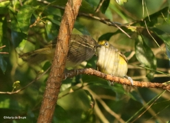 white-eyed vireo I77A0006©Maria de Bruyn