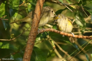 white-eyed vireo I77A0007©Maria de Bruyn
