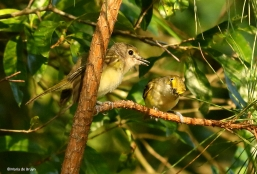 white-eyed vireo I77A0010©Maria de Bruyn