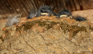 barn swallow I77A7062© Maria de Bruyn res