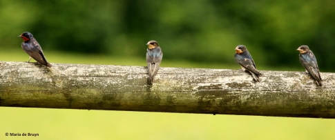 barn swallow I77A7139© Maria de Bruyn res