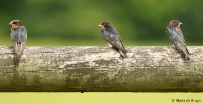 barn swallow I77A7145© Maria de Bruyn res