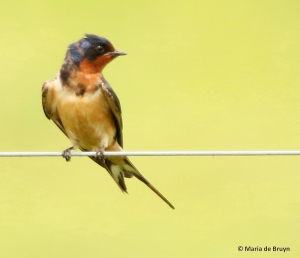 barn swallow I77A7161© Maria de Bruyn res