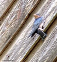 barn swallow IMG_4527© Maria de Bruyn