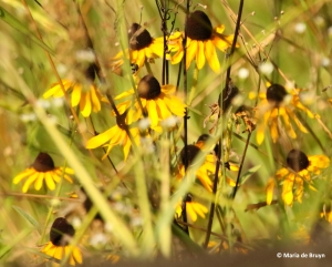 brown-eyed Susan I77A7112© Maria de Bruyn res