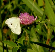 cabbage white I77A6735© Maria de Bruyn res