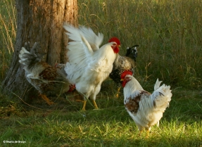 chicken I77A6958© Maria de Bruyn (2)