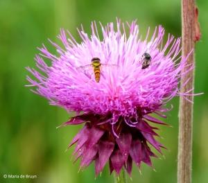 common oblique syrphid fly Allograpta obliqua IMG_4418© Maria de Bruyn res