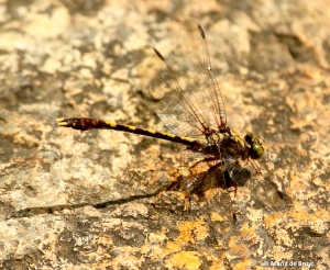 Common sanddragon dragonfly I77A6480© Maria de Bruyn res