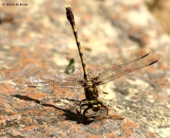 Common sanddragon dragonfly I77A6508© Maria de Bruyn res
