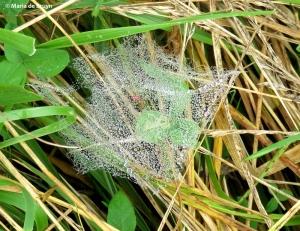dwarf sheetweb spider IMG_0117© Maria de Bruyn res