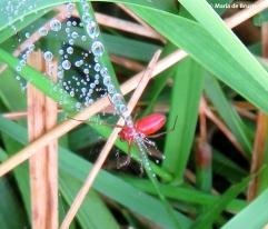 dwarf sheetweb spider IMG_0127© Maria de Bruyn