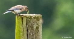 Eastern bluebird I77A5847© Maria de Bruyn res