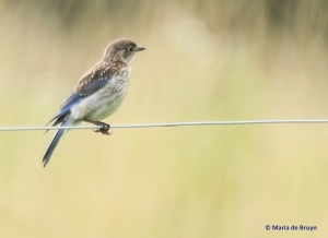 Eastern bluebird I77A5859© Maria de Bruyn res