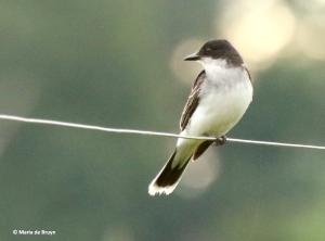 Eastern kingbird I77A5683© Maria de Bruyn res