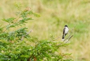 Eastern kingbird I77A6380© Maria de Bruyn res