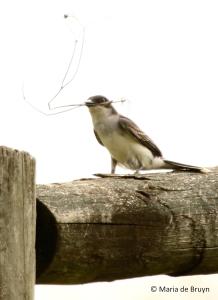 Eastern kingbird I77A7099© Maria de Bruyn res