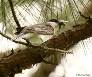 Eastern kingbird I77A7653© Maria de Bruyn