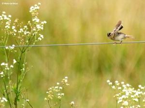 grasshopper sparrow I77A5738© Maria de Bruyn res