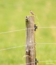grasshopper sparrow I77A6976© Maria de Bruyn res