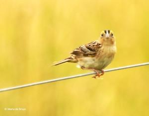 grasshopper sparrow I77A7118© Maria de Bruyn res